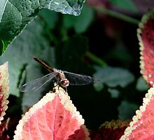 Dragonfly & Colius by Karen K Smith