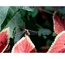 Dragonfly & Colius Photographic Print
