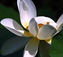 Opening Lotus by sstarlightss