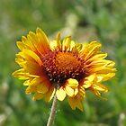Blanket Flower by Kathi Arnell