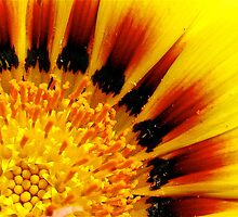 Sun Flower by Malcolm Clark