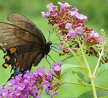 Eastern Tiger Swallowtail Female by roadmosey