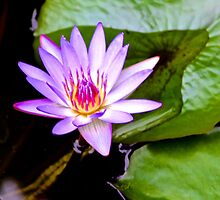 Lavender Water Lily by Jean Willow