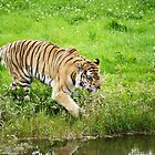 Tiger - Time for a dip by AmandaJanePhoto