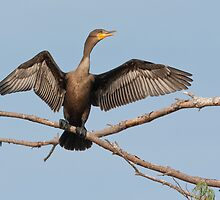 Dc Cormorant by DigitallyStill