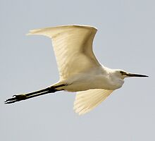 Snowy Egret in Flight by Paulette1021