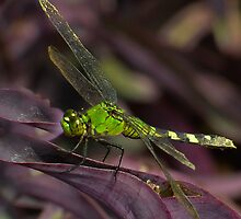 Dragonfly in Green by Dennis Rubin IPA