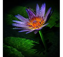 waterlily II Photographic Print