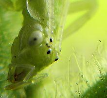 Juvenile Snowy Tree Cricket (Oecanthus fultoni) on Uncarina Head Study by Linda Gleisser