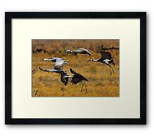 Sandhill Cranes on the Wing Framed Print