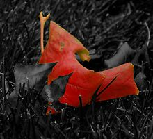 Brightest sycamore leaf of autumn. by Conor Donaghy