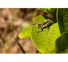 Grasshopper Perched on Milkweed Photographic Print