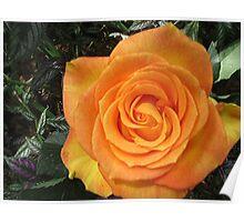 Gleaming Rose Poster