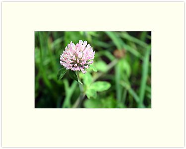 Field Clover. by Alison Bur