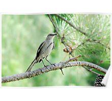Bird on a Pine Tree Poster