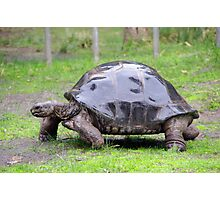 Tuck The Tortoise Photographic Print