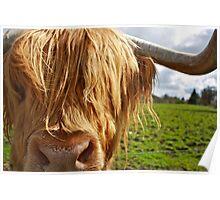 Hamish the Highland Bull Poster