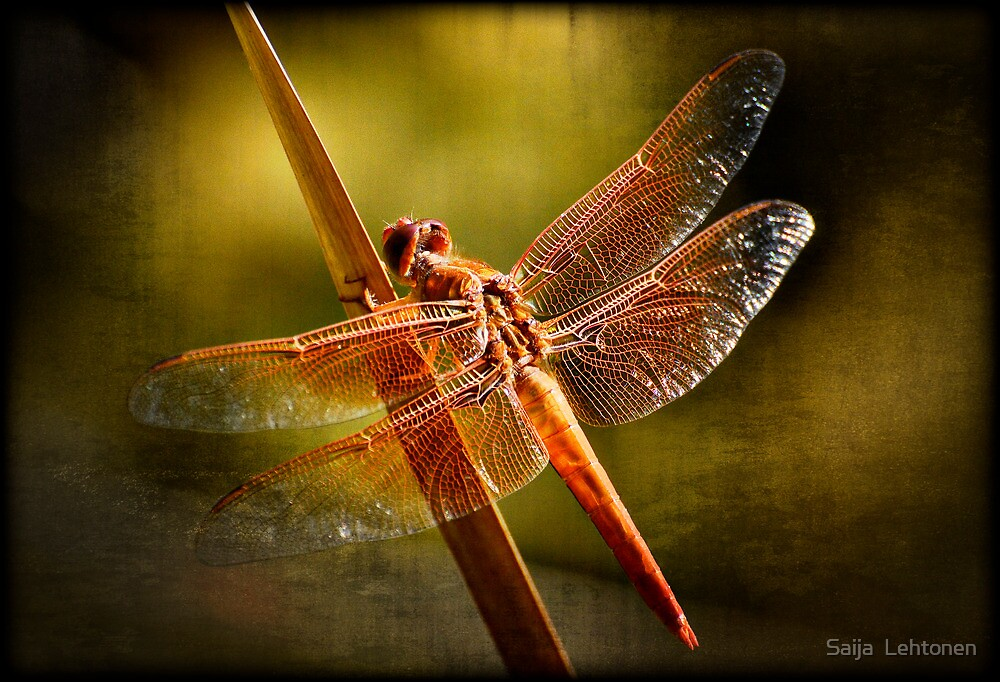 Dreams of a Dragonfly  by Saija  Lehtonen