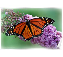 Nature's Beauty~The Monarch Butterfly Poster