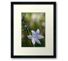 Hosta Blossoms - Late Afternoon Light Framed Print