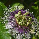 Passion in Bloom by heatherfriedman