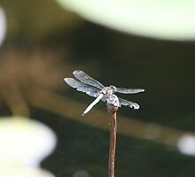 Dragonfly perched by camerawoman1