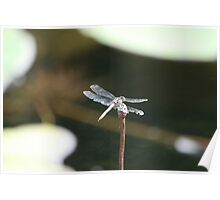 Dragonfly perched Poster