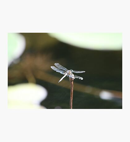 Dragonfly perched Photographic Print