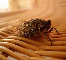 Cicada by njumer