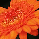 Vibrant orange gerbera daisy by IngeHG