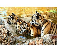 Trio of Tiger Cubs, Kanchanaburi, Thailand  Photographic Print