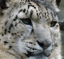 Snow Leopard by Gerard Rotse