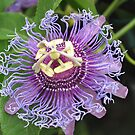 Passion Flower by Polly Greathouse