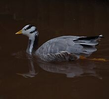 Bar-headed Goose by DEB VINCENT