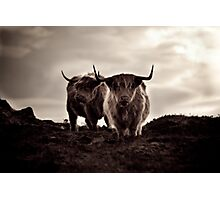 highland cows Photographic Print
