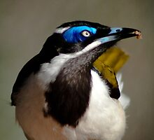 """Dinner Time"" - Blue Faced Honey Eater by Sophie Lapsley"