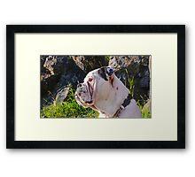 Clyde (Victorian Bulldog) - Sitting Still for Once! Framed Print