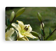 Lily 2 Canvas Print
