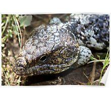 Bobtail Lizard Poster