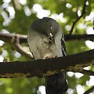 Sleepy Feral Pigeon by Hovis