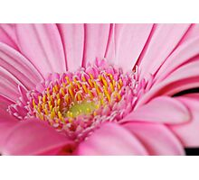Light Pink Gerbera  Photographic Print