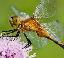 Sparkling Dragonfly by April Koehler