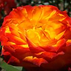 Vibrant Red Orange Rose Flower art print Floral Baslee by BasleeArtPrints