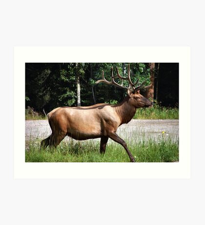 A King of the West   ..Elk  Art Print