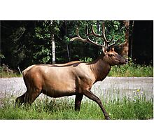 A King of the West   ..Elk  Photographic Print