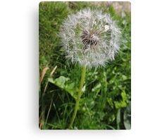 Do You See Weeds Or Wishes?  Canvas Print