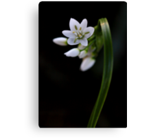 Allium neapolitanum  Canvas Print