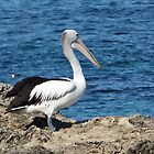 Pelican and Line by kalaryder