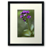 Sweet Alyssum Framed Print
