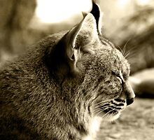 Sleepy Bobcat (in Sepia) by Corri Gryting Gutzman